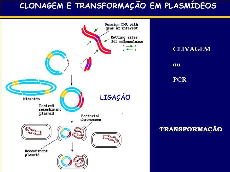 CLONAGEM E TRANSFORMAÇÃO EM PLASMÍDEOS