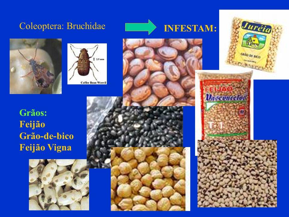 Coleoptera: Bruchidae