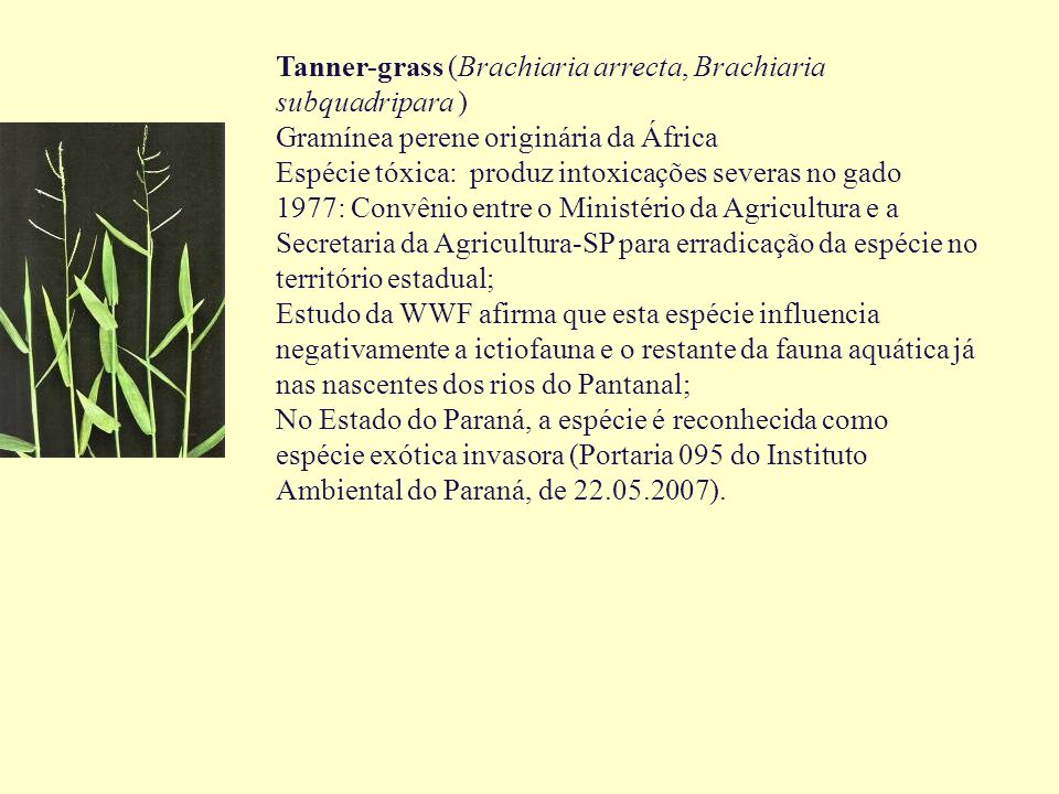 Tanner-grass (Brachiaria arrecta, Brachiaria subquadripara )