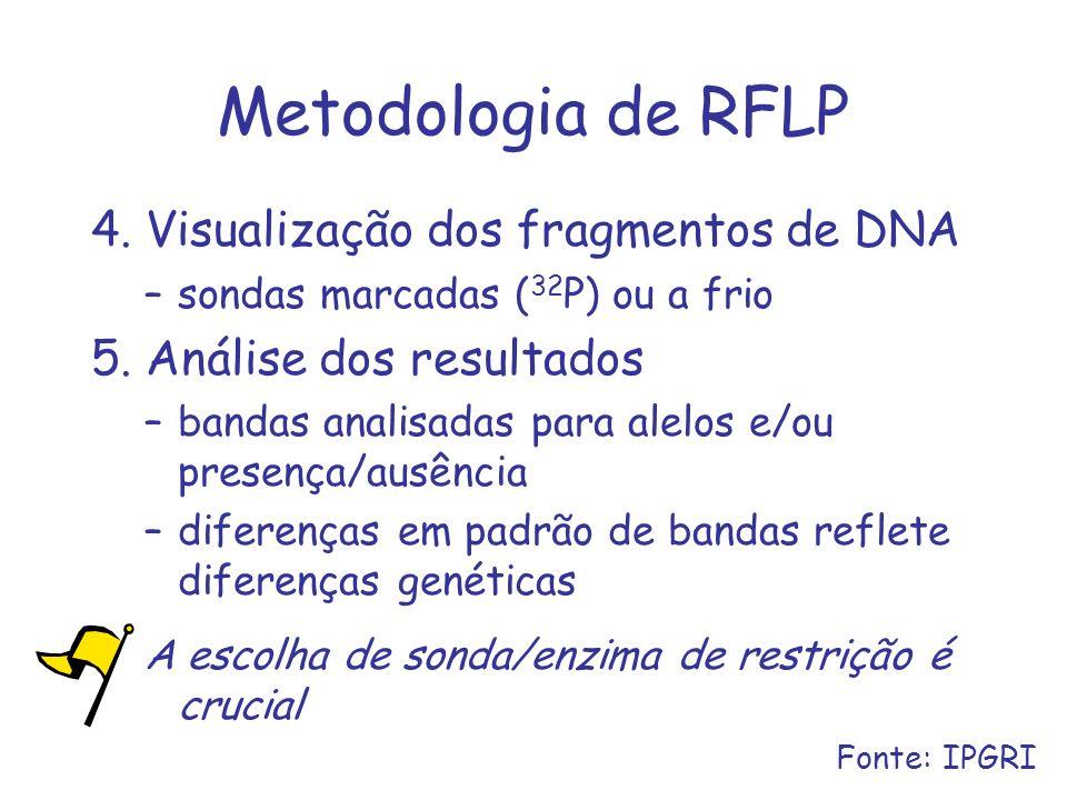 Metodologia de RFLP 4. Visualização dos fragmentos de DNA