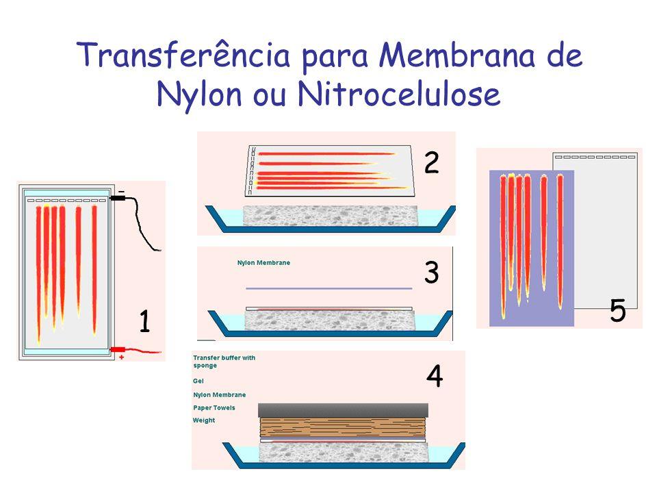 Transferência para Membrana de Nylon ou Nitrocelulose