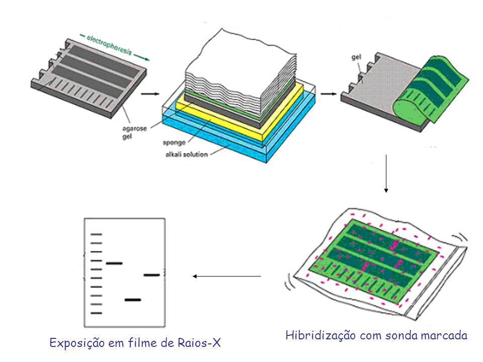 Hibridização com sonda marcada Exposição em filme de Raios-X