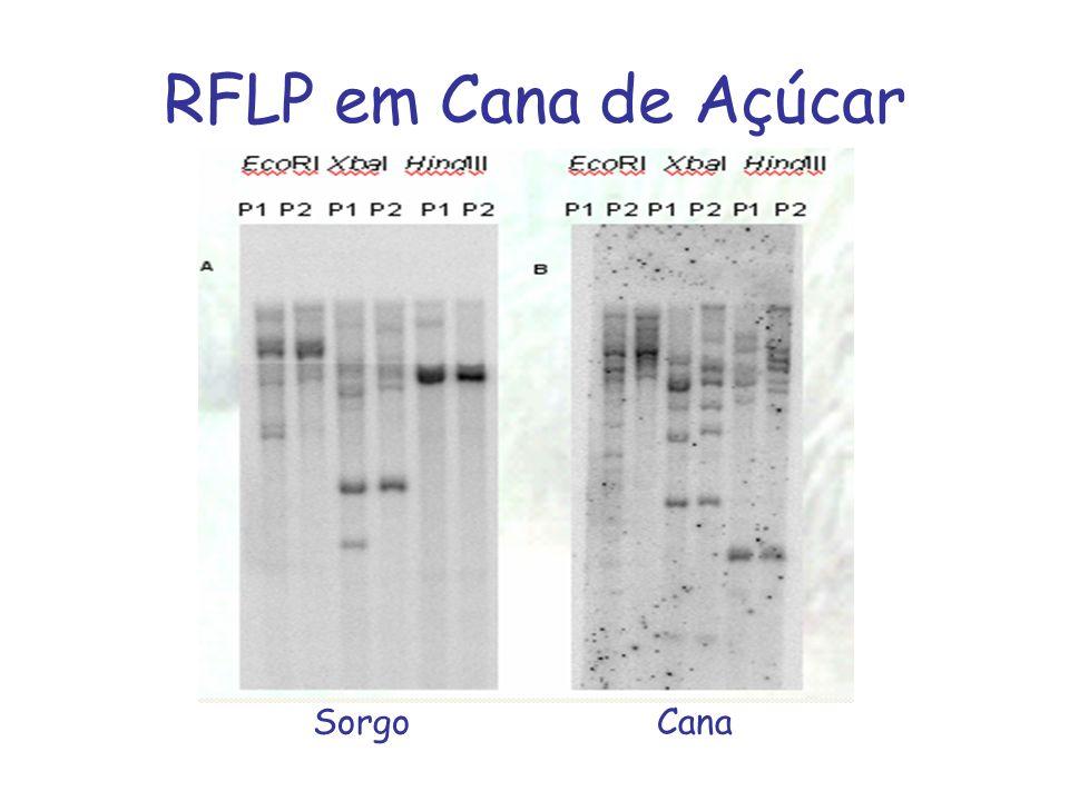 RFLP em Cana de Açúcar Sorgo Cana