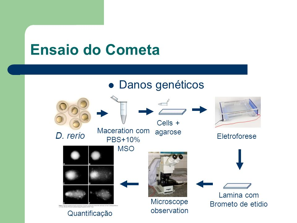Ensaio do Cometa Danos genéticos D. rerio Cells + agarose