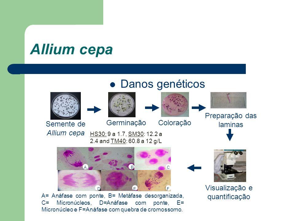 Allium cepa Danos genéticos Preparação das laminas Germinação