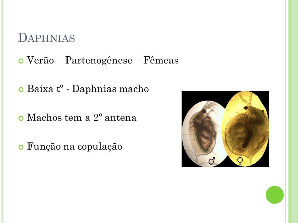 Daphnias Verão – Partenogênese – Fêmeas Baixa tº - Daphnias macho