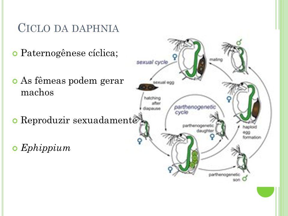 Ciclo da daphnia Paternogênese cíclica; As fêmeas podem gerar machos
