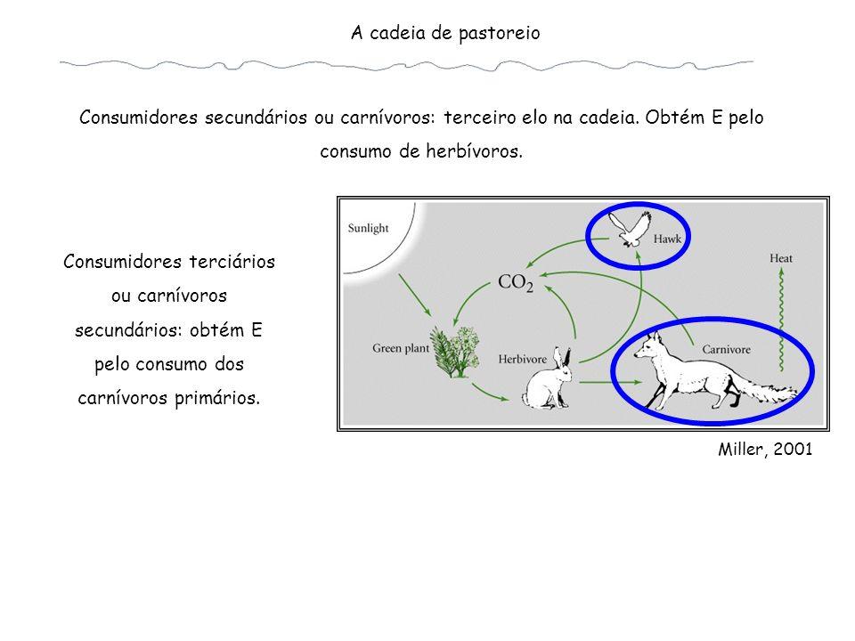 A cadeia de pastoreio Consumidores secundários ou carnívoros: terceiro elo na cadeia. Obtém E pelo consumo de herbívoros.