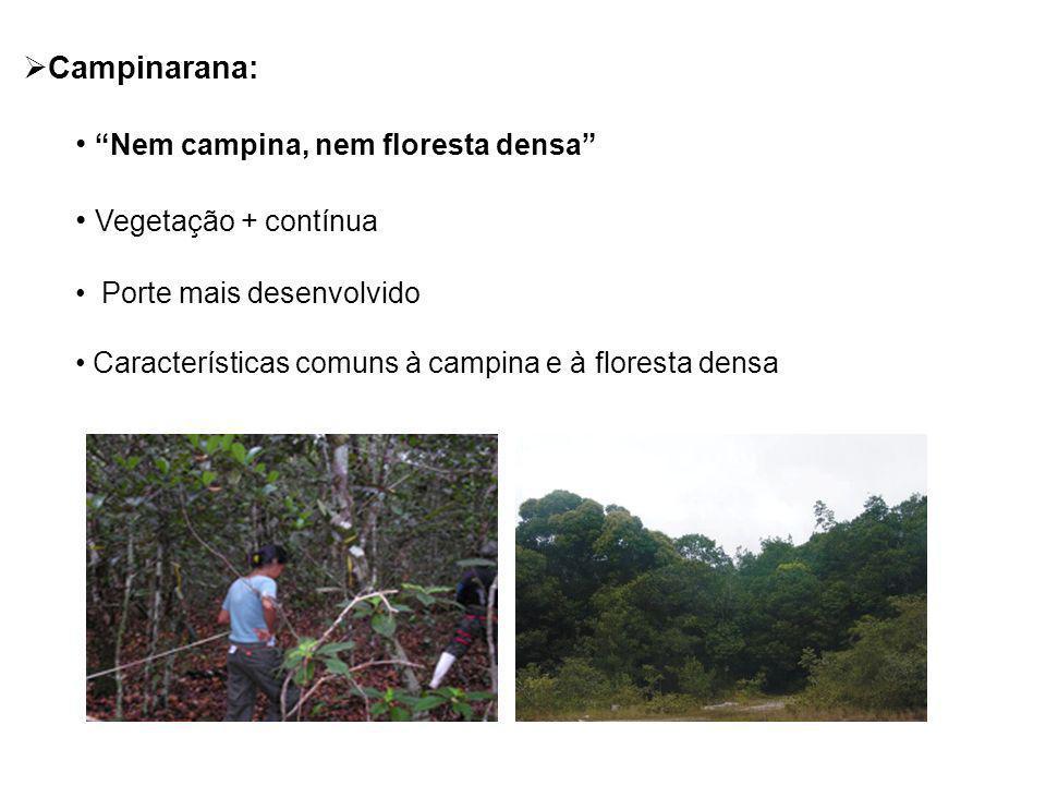 Nem campina, nem floresta densa Vegetação + contínua