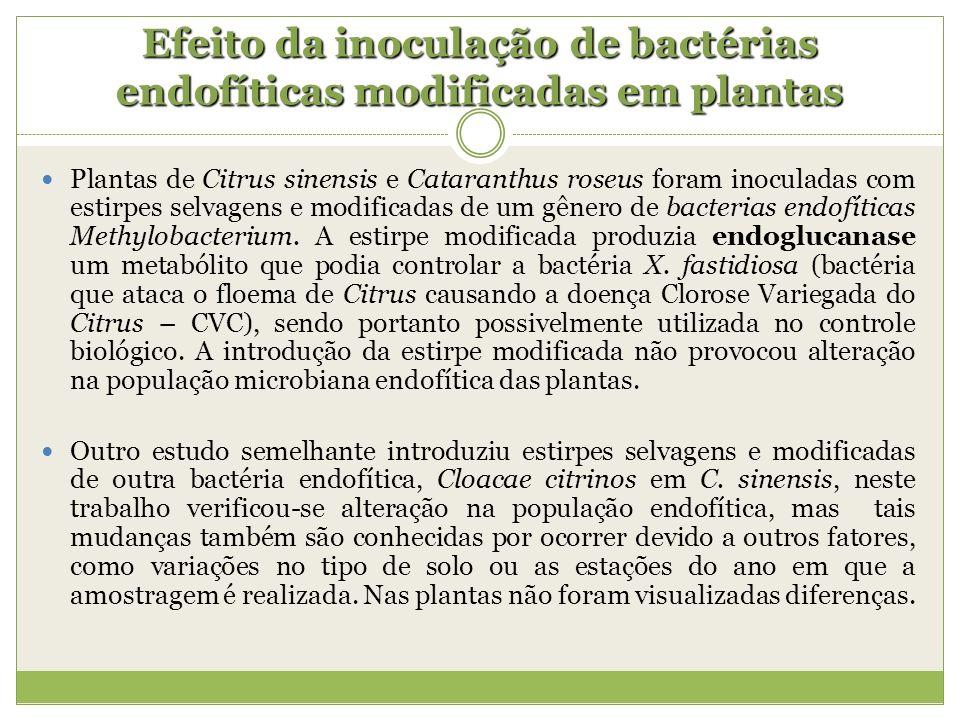 Efeito da inoculação de bactérias endofíticas modificadas em plantas
