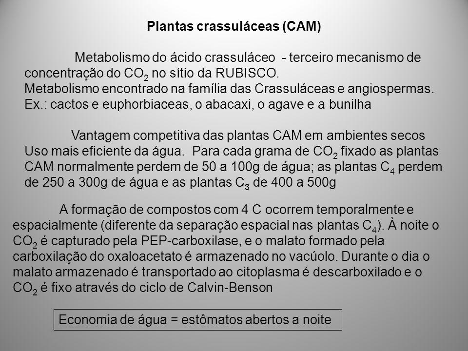 Plantas crassuláceas (CAM)