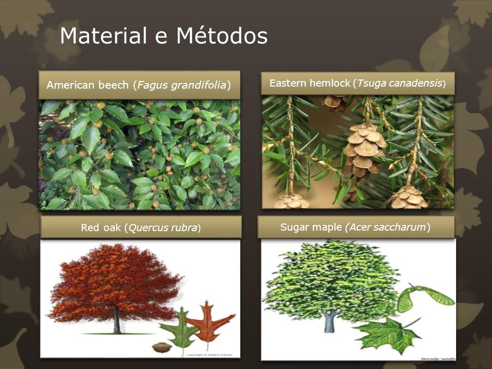 Material e Métodos Eastern hemlock (Tsuga canadensis)