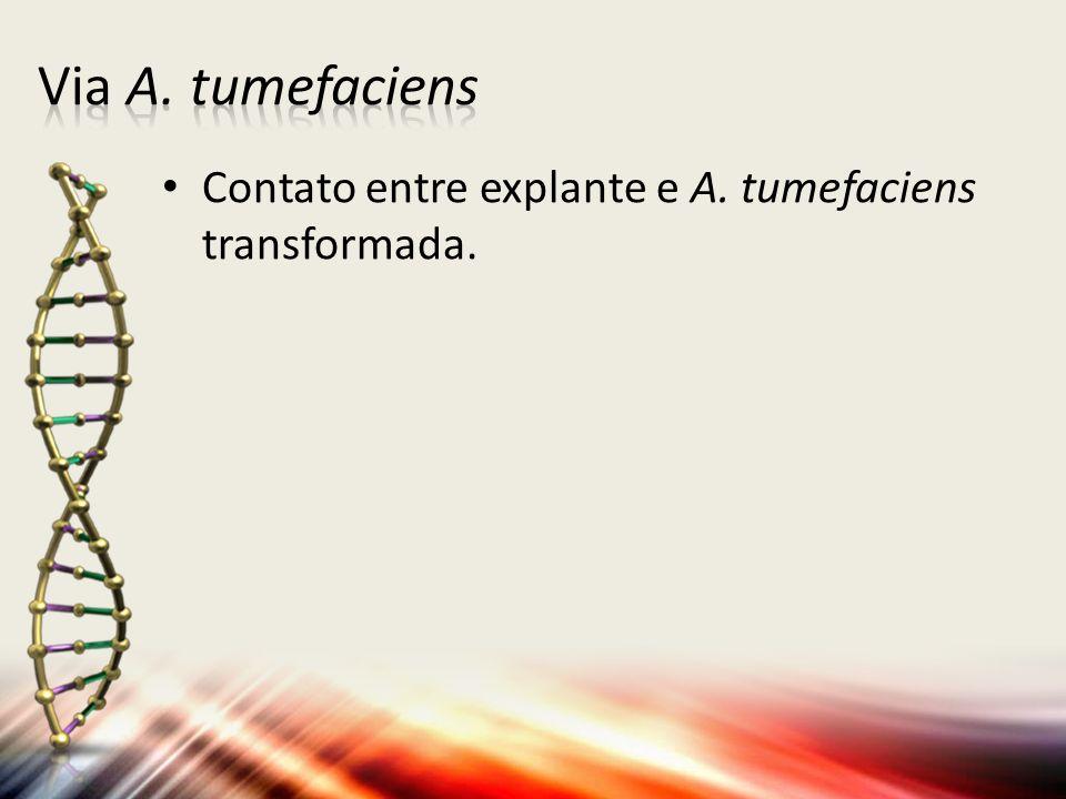 Via A. tumefaciens Contato entre explante e A. tumefaciens transformada.