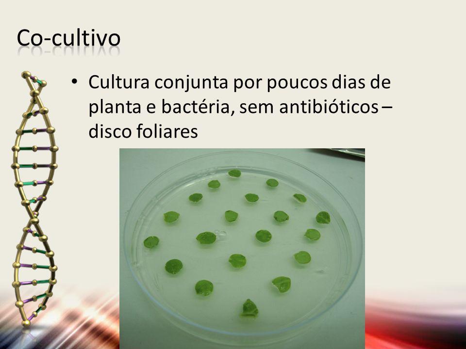 Co-cultivo Cultura conjunta por poucos dias de planta e bactéria, sem antibióticos – disco foliares