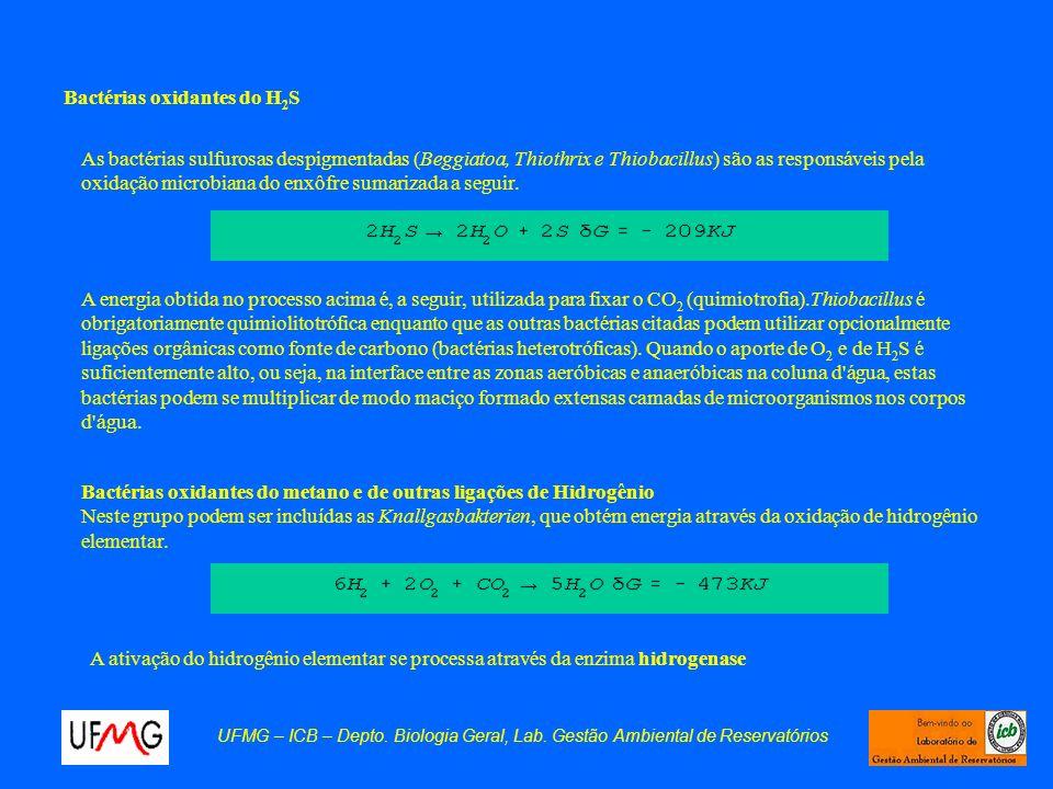 Bactérias oxidantes do H2S