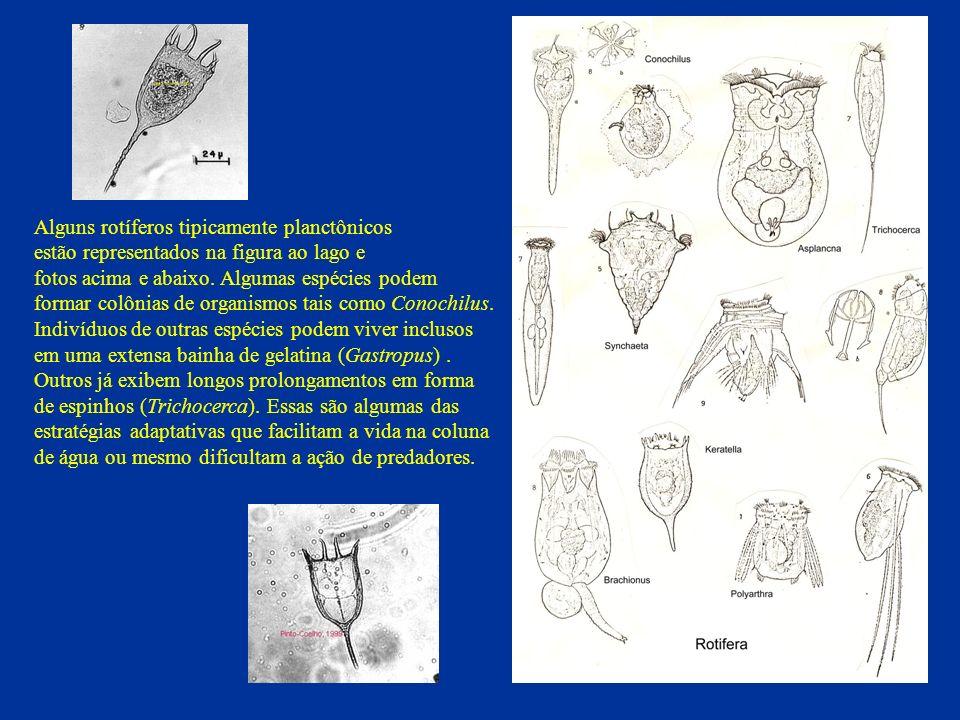 Alguns rotíferos tipicamente planctônicos