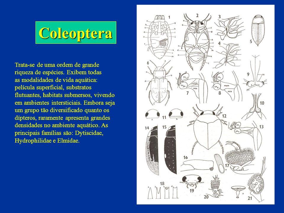 ColeopteraTrata-se de uma ordem de grande riqueza de espécies. Exibem todas.
