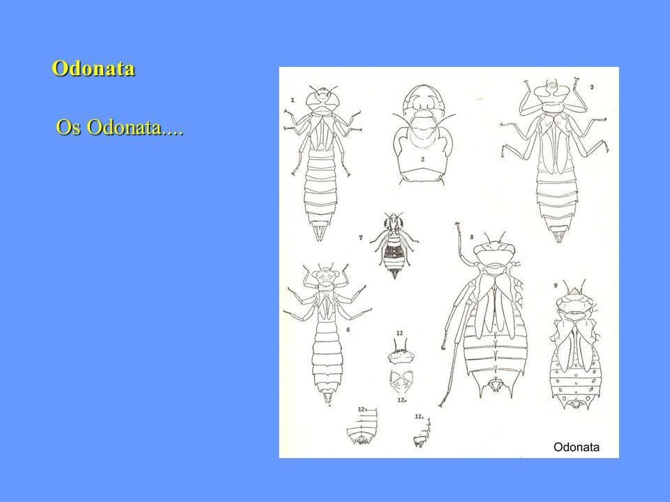 Odonata Os Odonata....