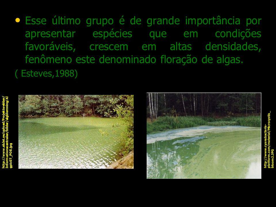 Esse último grupo é de grande importância por apresentar espécies que em condições favoráveis, crescem em altas densidades, fenômeno este denominado floração de algas.
