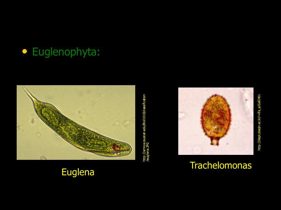 Euglenophyta: Trachelomonas Euglena