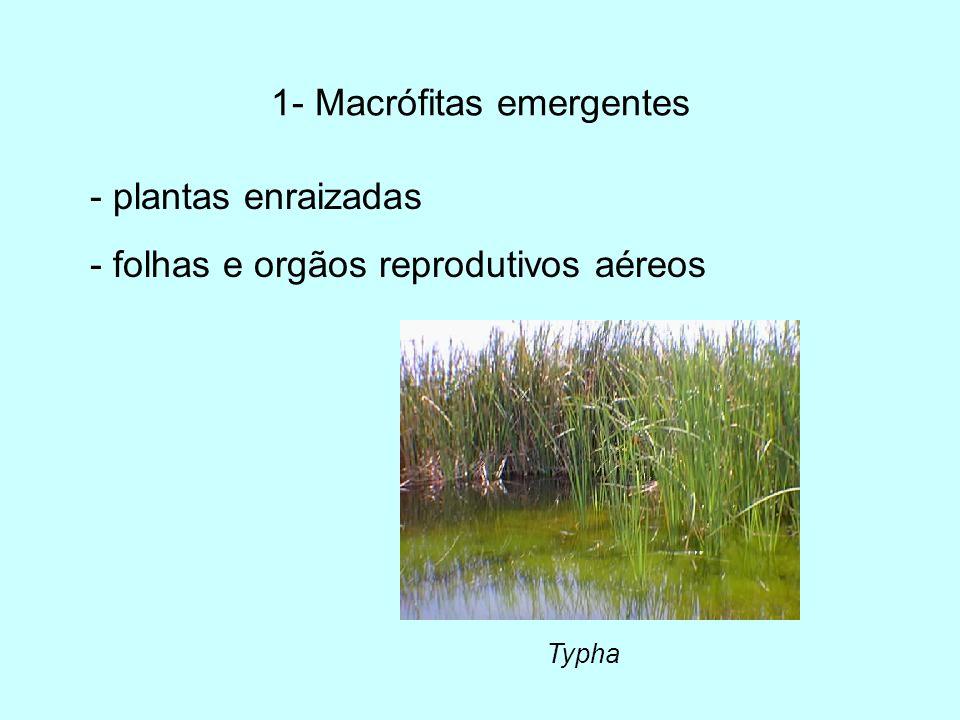 1- Macrófitas emergentes