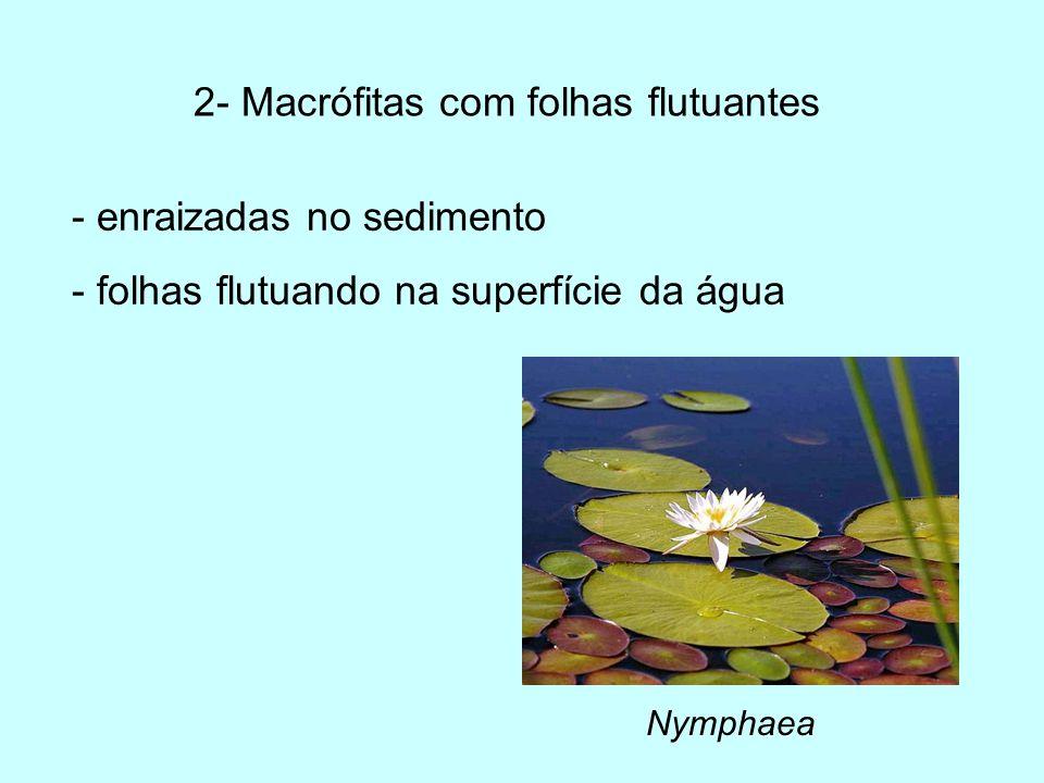 2- Macrófitas com folhas flutuantes