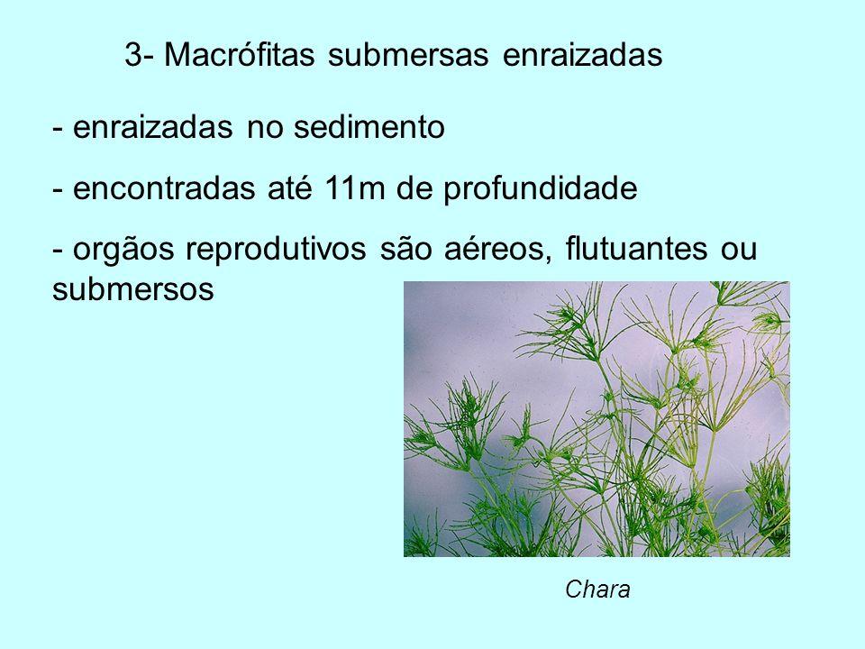 3- Macrófitas submersas enraizadas