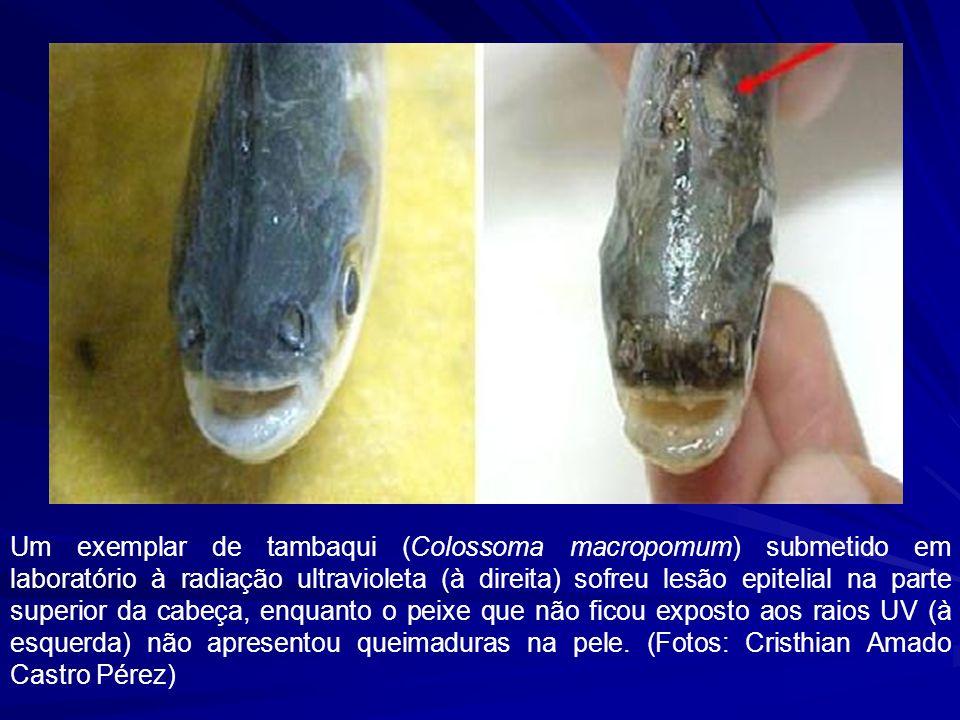 Um exemplar de tambaqui (Colossoma macropomum) submetido em laboratório à radiação ultravioleta (à direita) sofreu lesão epitelial na parte superior da cabeça, enquanto o peixe que não ficou exposto aos raios UV (à esquerda) não apresentou queimaduras na pele.