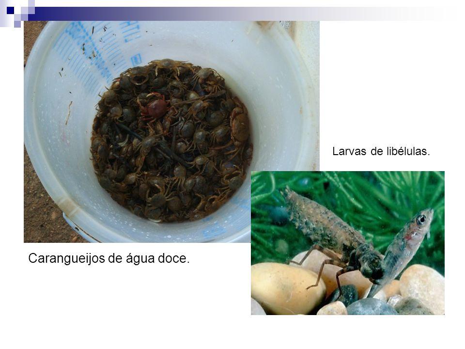 Carangueijos de água doce.