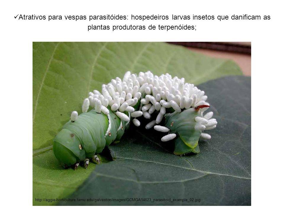 Atrativos para vespas parasitóides: hospedeiros larvas insetos que danificam as plantas produtoras de terpenóides;