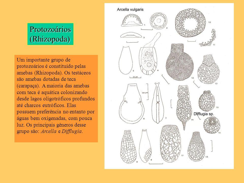 Protozoários (Rhizopoda)