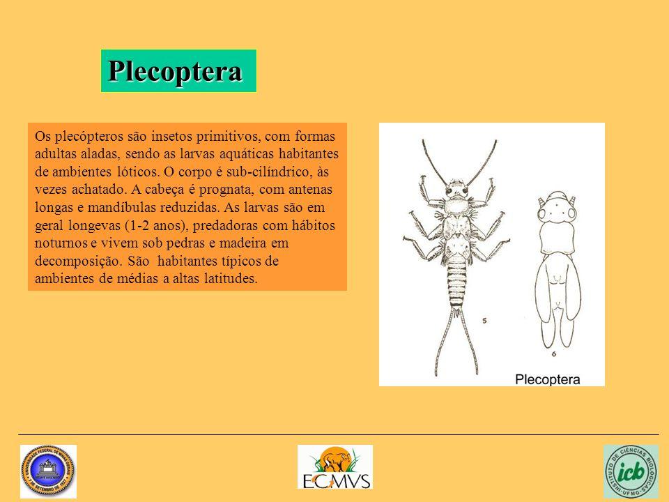 Plecoptera Os plecópteros são insetos primitivos, com formas