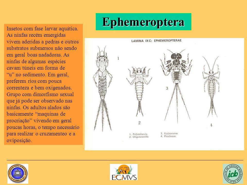 Ephemeroptera Insetos com fase larvar aquática.