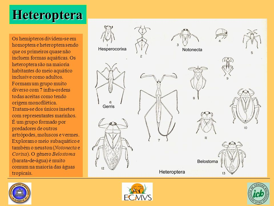 Heteroptera Os hemípteros dividem-se em