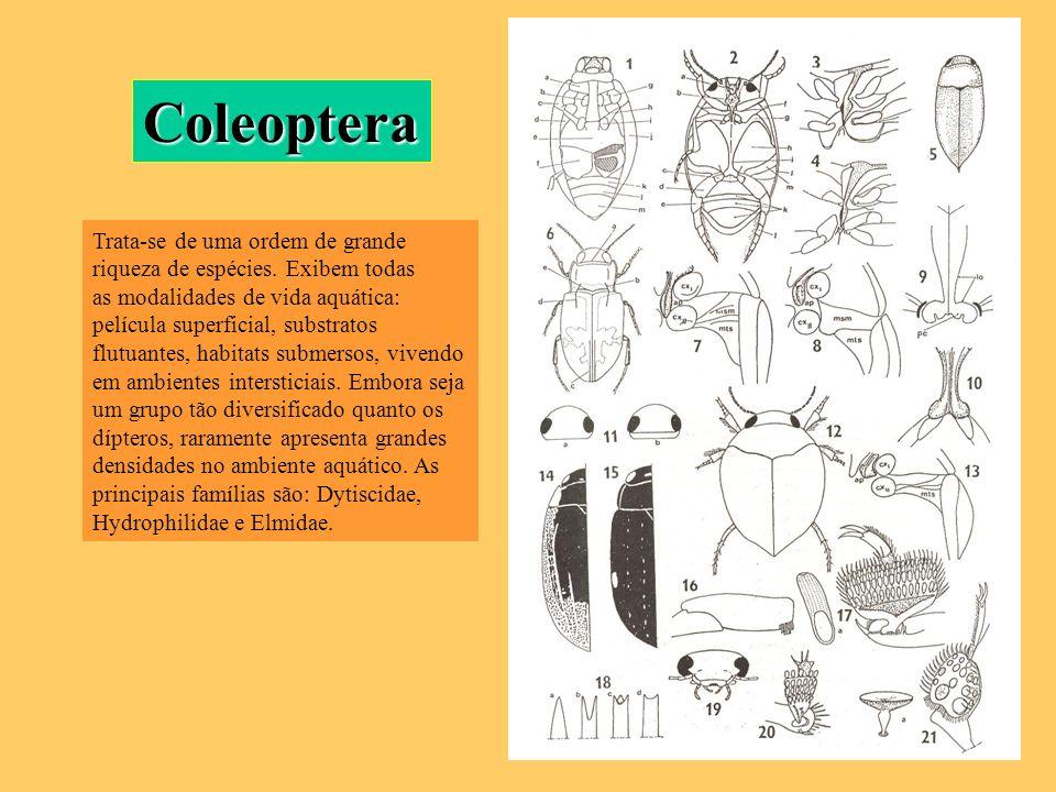 Coleoptera Trata-se de uma ordem de grande riqueza de espécies. Exibem todas.