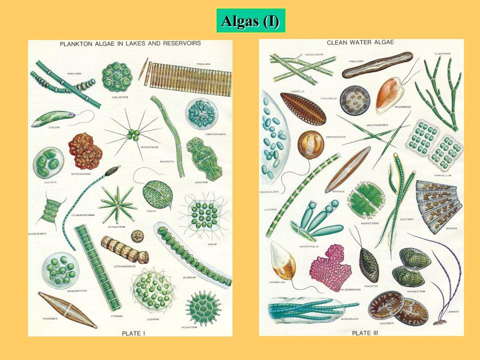 Algas (I)