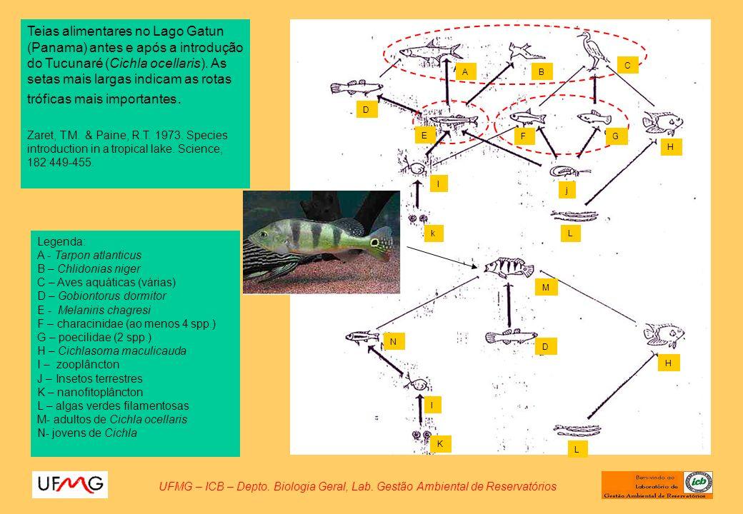 Teias alimentares no Lago Gatun (Panama) antes e após a introdução do Tucunaré (Cichla ocellaris). As setas mais largas indicam as rotas tróficas mais importantes.
