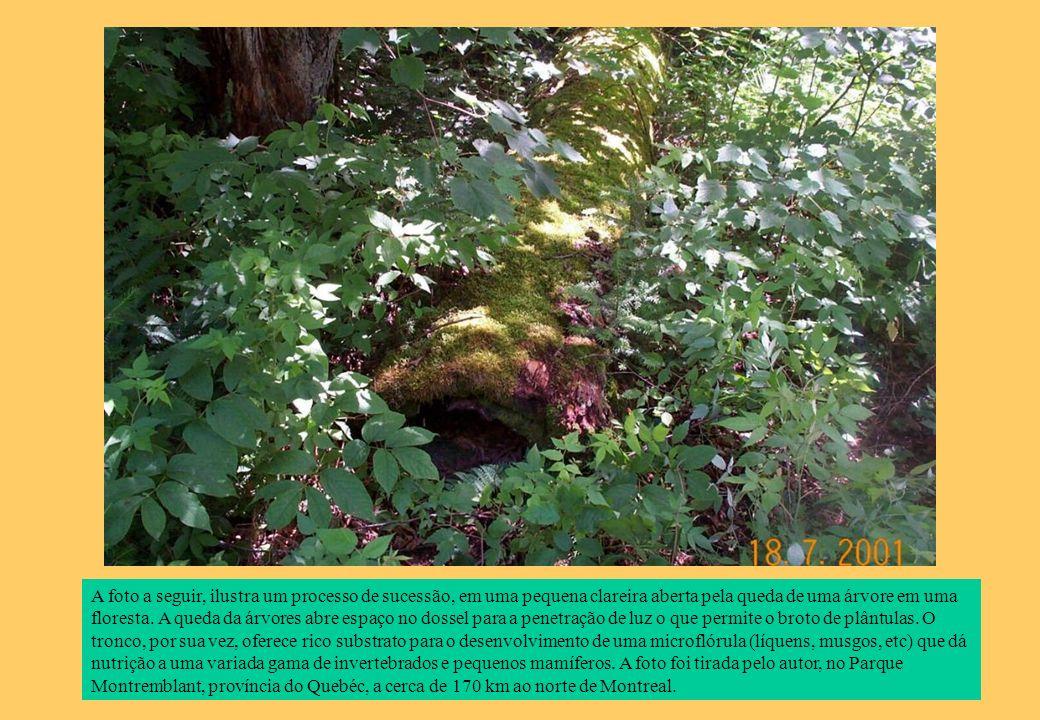 A foto a seguir, ilustra um processo de sucessão, em uma pequena clareira aberta pela queda de uma árvore em uma floresta.