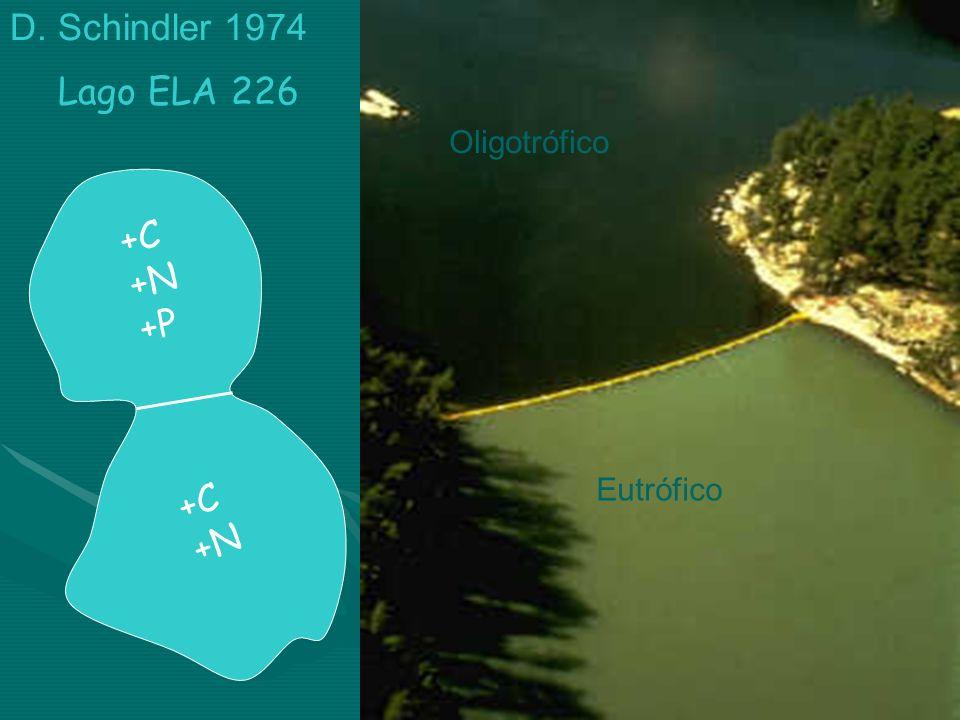 D. Schindler 1974 Oligotrófico Eutrófico Lago ELA 226 +C +N +P +C +N