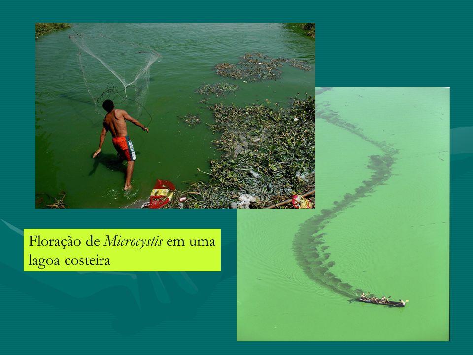 Floração de Microcystis em uma lagoa costeira