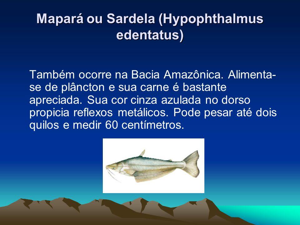 Mapará ou Sardela (Hypophthalmus edentatus)