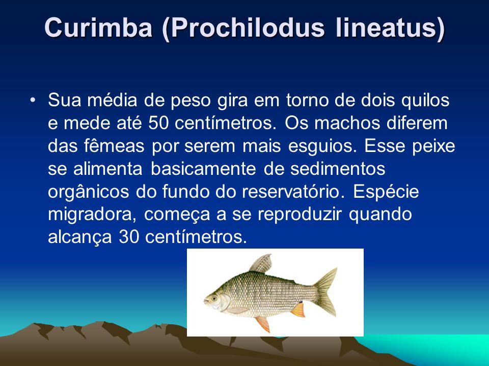 Curimba (Prochilodus lineatus)