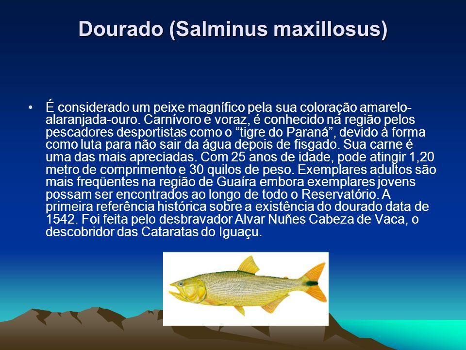 Dourado (Salminus maxillosus)