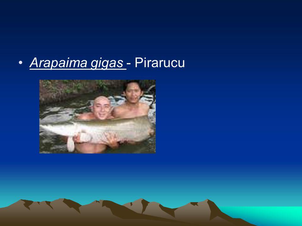 Arapaima gigas - Pirarucu