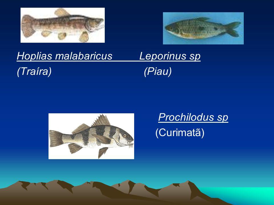 Hoplias malabaricus Leporinus sp