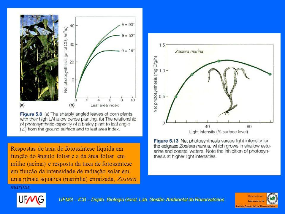 Respostas de taxa de fotossíntese líquida em função do ângulo foliar e a da área foliar em milho (acima) e resposta da taxa de fotossíntese em função da intensidade de radiação solar em uma plnata aquática (marinha) enraizada, Zostera marina.