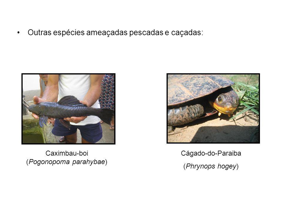 Caximbau-boi (Pogonopoma parahybae)