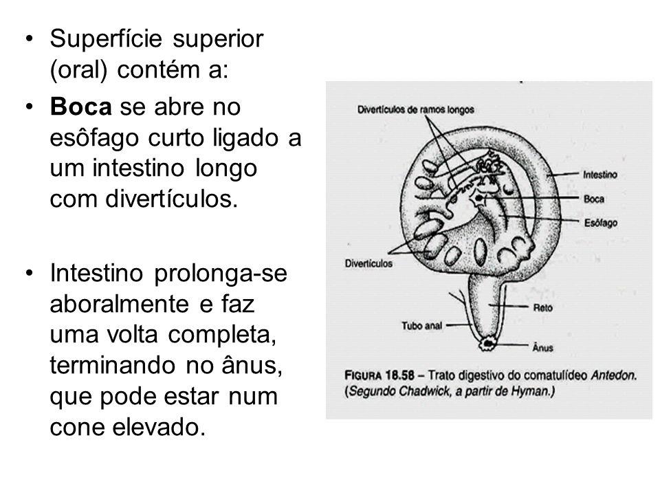 Superfície superior (oral) contém a: