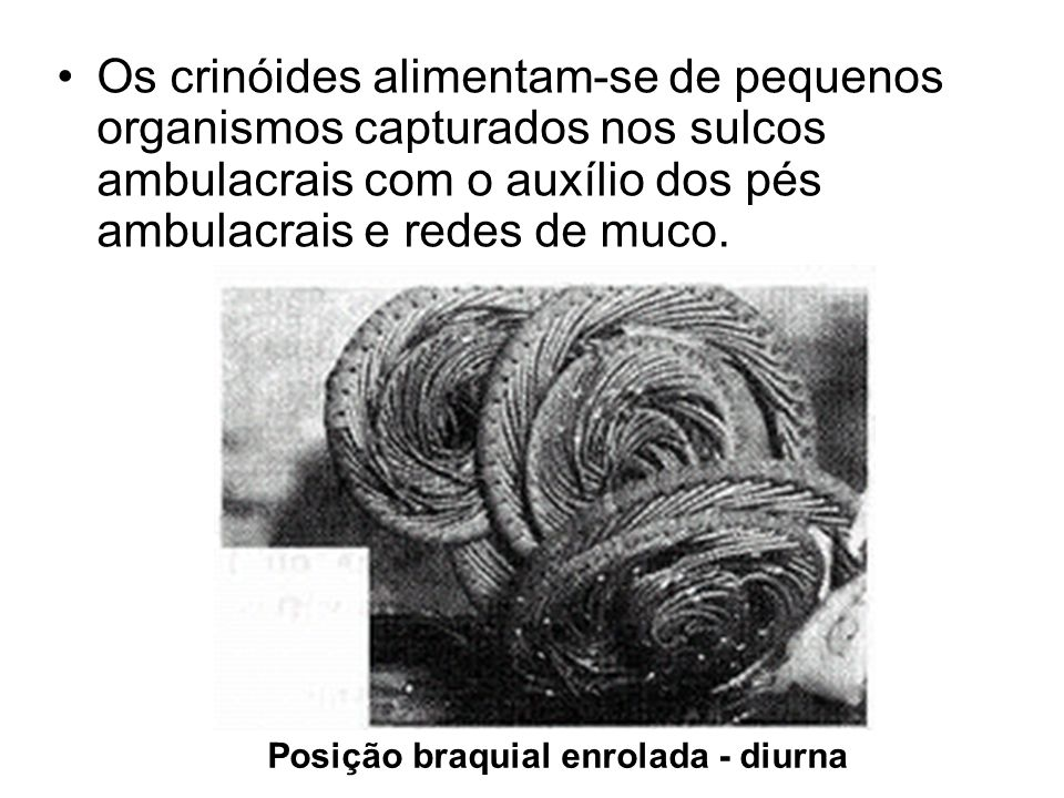 Os crinóides alimentam-se de pequenos organismos capturados nos sulcos ambulacrais com o auxílio dos pés ambulacrais e redes de muco.