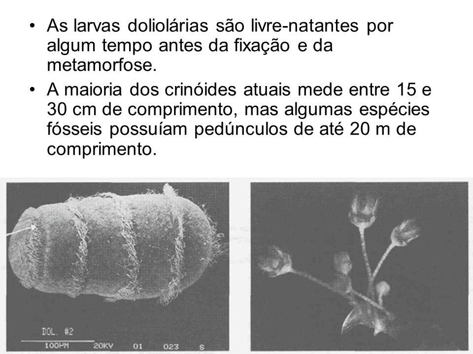 As larvas doliolárias são livre-natantes por algum tempo antes da fixação e da metamorfose.